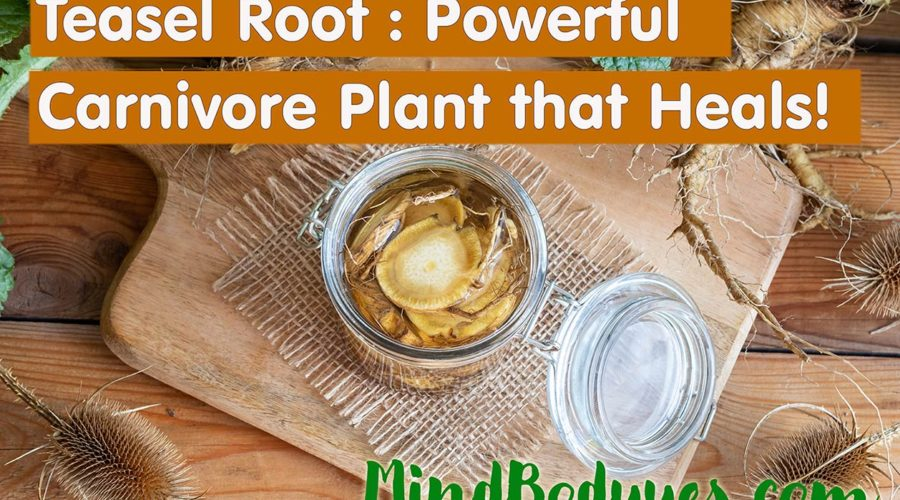 Teasel Root the Carnivore Plant that Heals Your Body